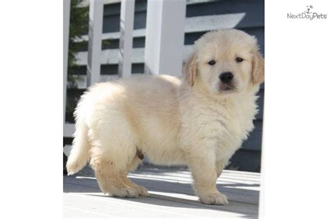 golden retriever puppies for sale in maine puppies for sale from signature gold golden retrievers member since january 2008