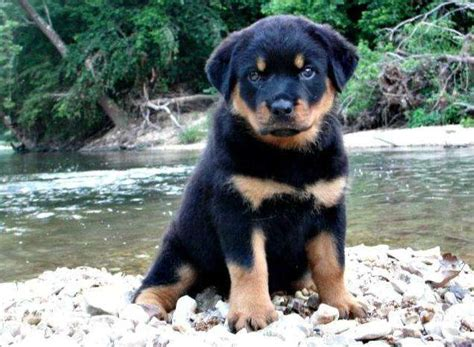 rottweiler puppies malaysia rottweiler puppies available for sale adoption from johor kota tinggi adpost