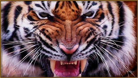 imagenes google tigres imagenes de tigres animados dibujos de tigres related