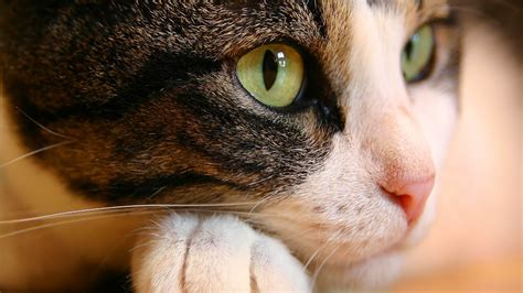 cat wallpaper for walls cat eyes wallpapers hd wallpapers id 998