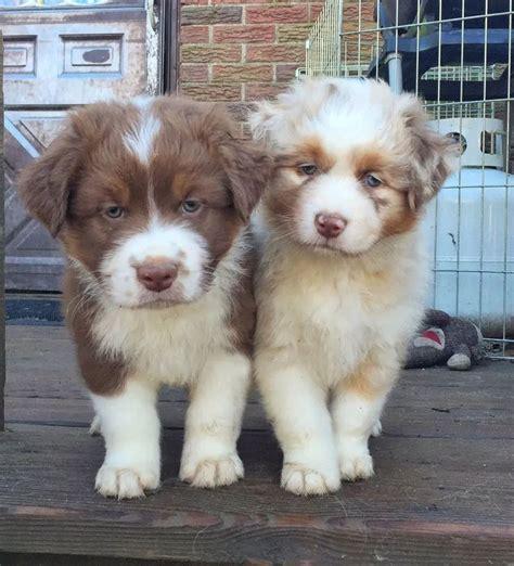 australian shepherd puppies new best 25 australian shepherd puppies ideas on australian shepherds aussie