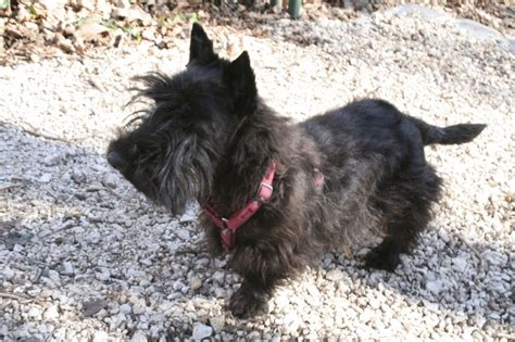hair cuts for a scottish terrier 17 best images about days of groovy scottish terrier on