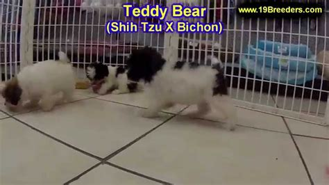 puppies for sale in west virginia teddy puppies dogs for sale in charleston west virginia wv 19breeders