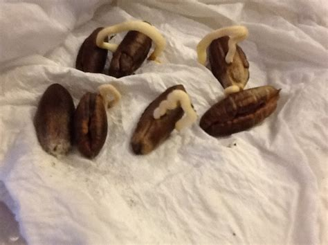 how to grow dates from how to grow a medjool date palm from seed snapguide