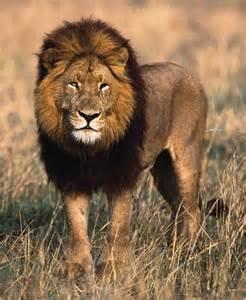 imagenes de animales leon animales salvajes el leon