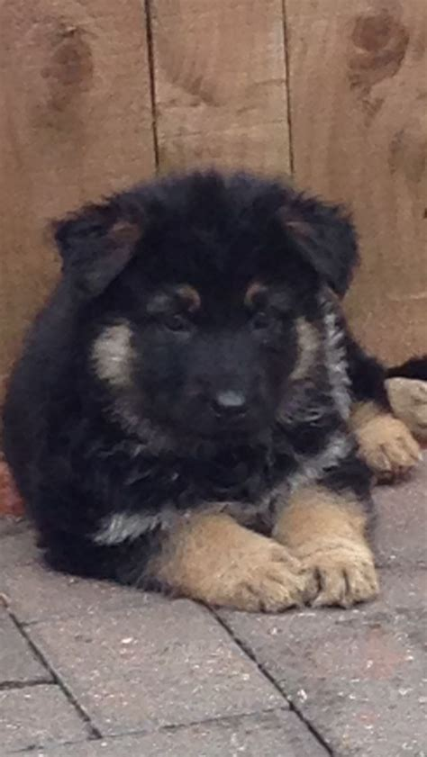 Stunning German Shepherd Puppies For Sale Stanley County Durham Pets4homes