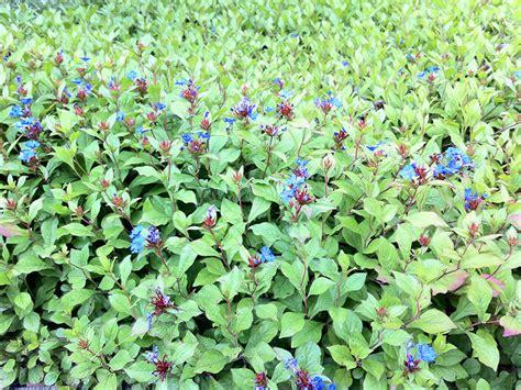 blaue stauden winterhart bodendecker sonniger standort bodendecker pflegeleichte