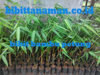 Bibit Jambu Air Jember pusat bibit pohon bambu petung murah unggul di jawa
