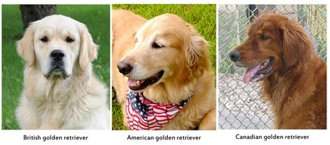 different types of golden retrievers 5 things you didn t about golden retrievers