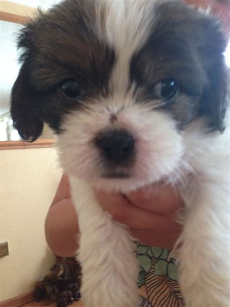 cavalier x shih tzu puppies for sale week cava tzu puppy cavalier king charles spaniel shih tzu breeds picture
