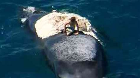 sinking boat surrounded by sharks man surfs a dead whale surrounded by sharks youtube