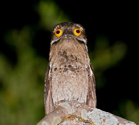 the potoo nature s most surprised looking bird lazer horse