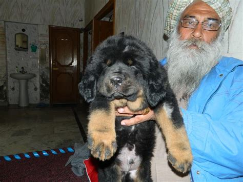 tibetan mastiff puppy price tibetan mastiff puppies for sale gurtej 9592361465 1 10174 dogs for sale price