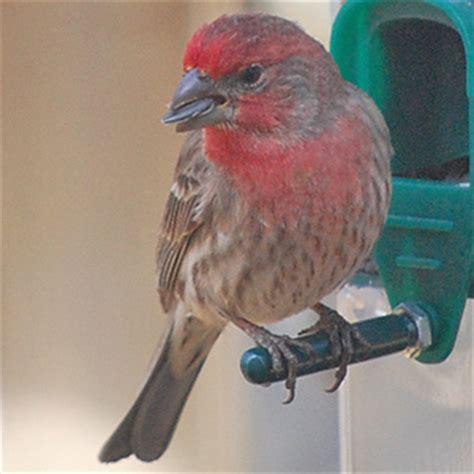 common winter birds in central minnesota