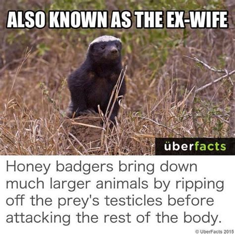 Meme Honey Badger - also known as the ex wife honey badger meme meme