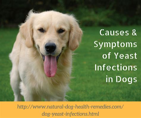 golden retriever yeast infection skin yeast infections candida causes and symptoms rinse for yeasty dogs