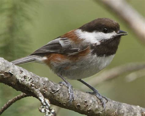 chestnut backed chickadee audubon field guide