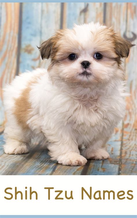 shih tzu names adorable  awesome ideas  naming  puppy