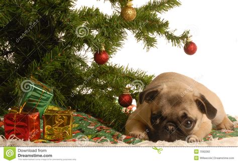pug puppy under christmas tree stock photo image 7092282