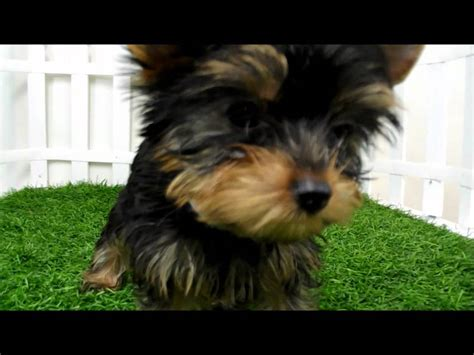 yorkie puppies for sale san diego teacup yorkie puppy for sale in san diego breeds picture