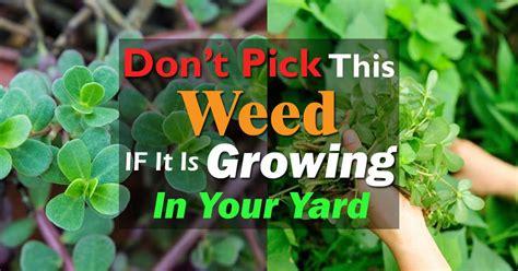 edible weed purslane benefits   grow purslane