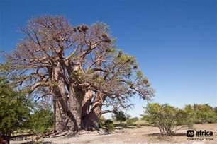 Thomas Desk Chapman S Baobab One Of Africa S Largest Trees Falls