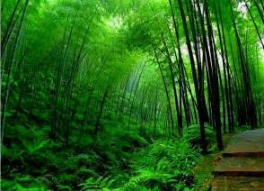 bamboo tree wallpapers hd neptunes dreams