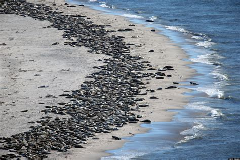 what is in cape cod cape cod seals photos show them soaking up sun on the