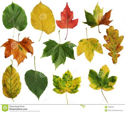 imagenes hojas de sen hojas del oto 241 o foto de archivo imagen de oto 241 o colores
