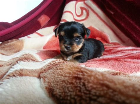 pedigree for puppies pedigree terrier puppies for sale northton northtonshire pets4homes