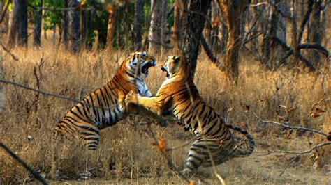 the tigers prey tiger cub s first prey david attenborough tiger spy in the jungle bbc youtube