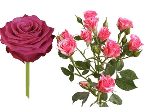 Sprei Roses spray combo standard roses flowers by