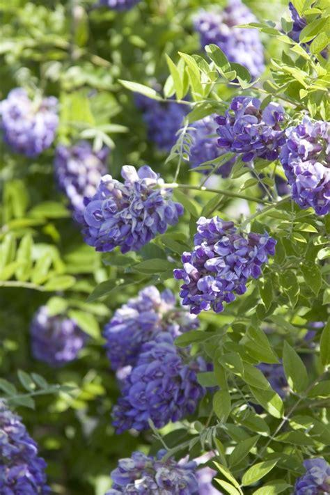 Bl 252 Hende Kletterpflanzen 10 Winterharte Arten F 252 R Garten