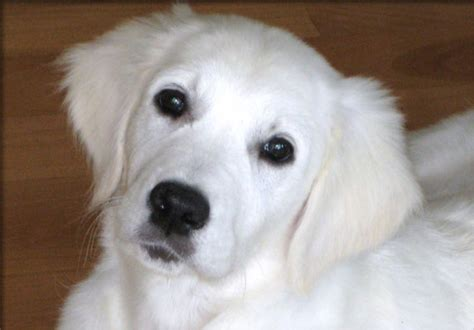 golden retriever puppies white image gallery white retriever