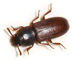 Kill Fleas On Carpet by Red Flour Beetles How To Get Rid Of Red Flour Beetles