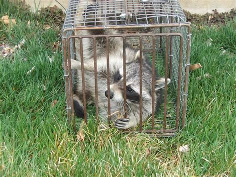 get rid of raccoons in backyard how to get rid of raccoons in my backyard 28 images