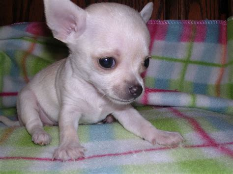 white chihuahua puppies pedigree small white chihuahua teacup puppy slough berkshire pets4homes