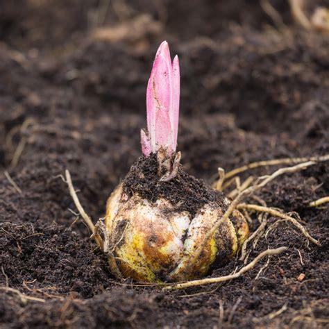 zwiebeln wann ernten zwiebel pflanzen zwiebel pflanzen pflege und tipps mein