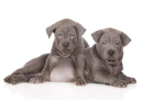 thai ridgeback puppies for sale thai ridgeback puppies for sale akc puppyfinder