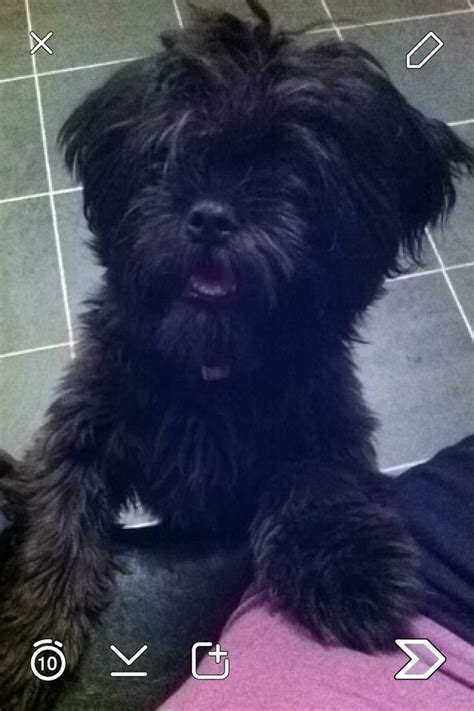 6 month shih tzu for sale solid black 6 month shih tzu for sale gateshead tyne and wear pets4homes