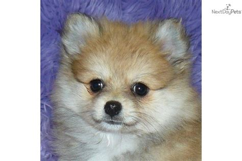 pomeranian puppies for sale missouri pomeranian puppy for sale near springfield missouri 08c47879 3101