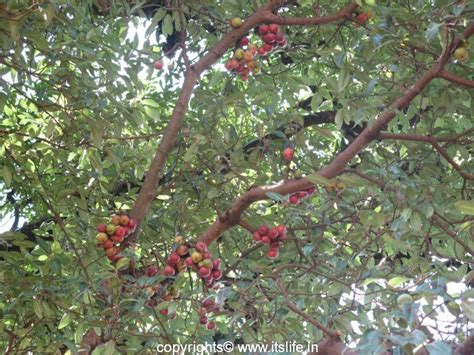 name a fruit that grows on trees fig tree itslife in