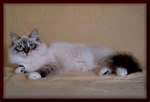 siberian neva masquerade seal tabby white born 11 03 2004 Tabby
