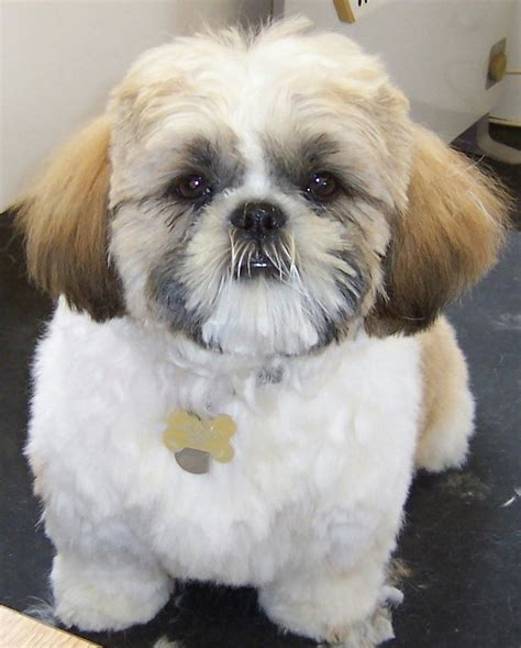puppy haircuts impressive haircut styles amid efficient article harvardsol