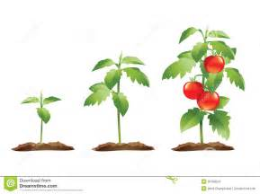 tomato plant growth cycle stock images image 20798224