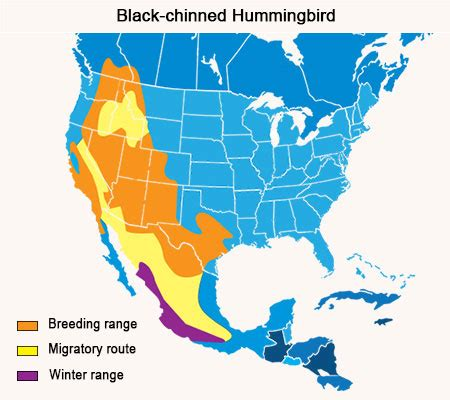 hummingbird migration when and where do they migrate