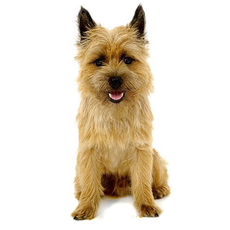 types of scottie grooming styles pin scottish terrier grooming styles on pinterest