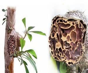 Sarang Semut Papua 100 Asli sarang semut myrmecodia asli papua qmuslim