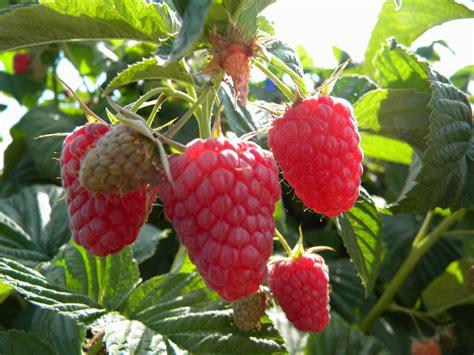 wann erdbeeren pflanzen wann erdbeeren pflanzen great erdbeeren udaroyalu with