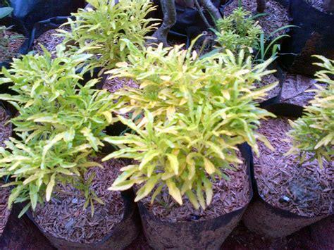 jual pohon brokoli daun kuning suplier tanaman hias